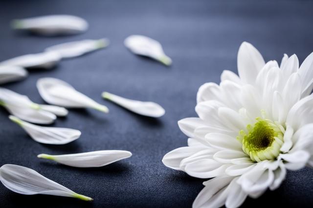 お供えの白い菊