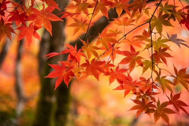 きれいな楓の紅葉
